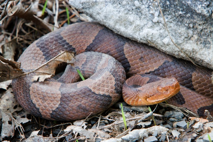northern copperhead map - 720×480
