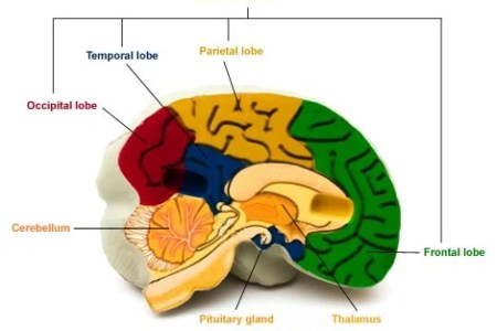 Interior internal brain diagram 4k pictures 4k pictures full hq brain diagram internal application wiring diagram modern internal brain diagram mold anatomy and physiology biology rh stockmarketresources info brain ccuart Image collections