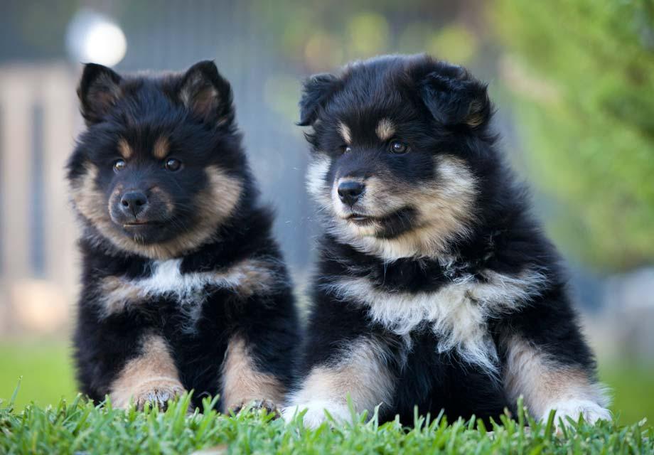 Finnish Lapphund Puppies For Sale - AKC PuppyFinder