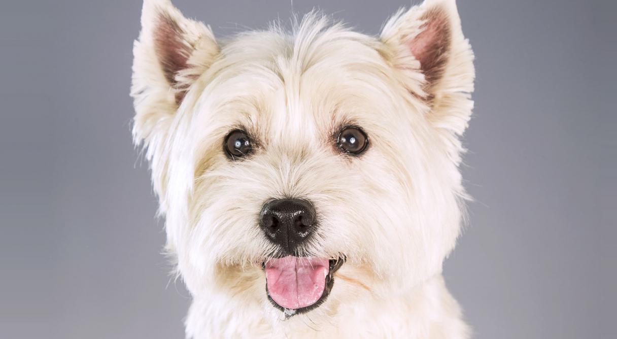 West Highland White Terrier (Westie) Dog Breed Information ...