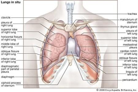 Interior Inferior Mediastinum Anatomy Full Hd Maps Locations