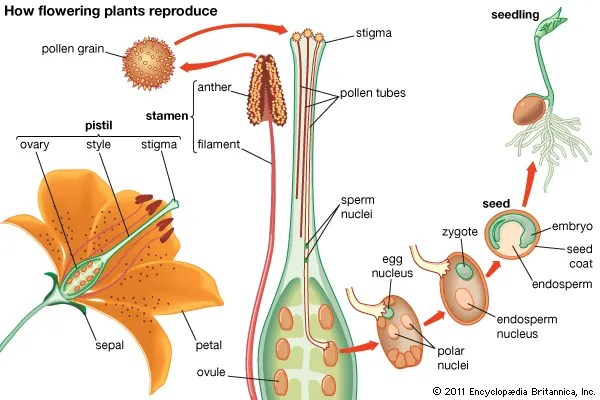 embryo protection in plants - 600×400