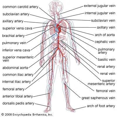 Circulatory system | anatomy | Britannica.com