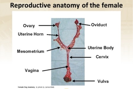 Female dog body parts diagram path decorations pictures full dog body diagram pregnant diy wiring diagrams excelente anatomy of a pregnant dog composici n anatom a de las rh newsmasters info pregnant dog ultrasound ccuart Images