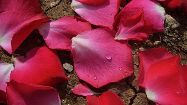 Ini Dia Khasiat Bunga Mawar yang jarang diketahui