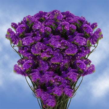 Statice Flowers Limonium Purple Bouquet Fillers     GlobalRose Color tones for all Purple Statice may vary due to the computer monitor  and or Mother Nature