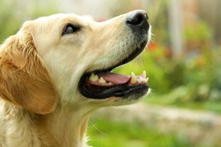 30 Most Expensive Dog Breeds   GOBankingRates Golden Retriever