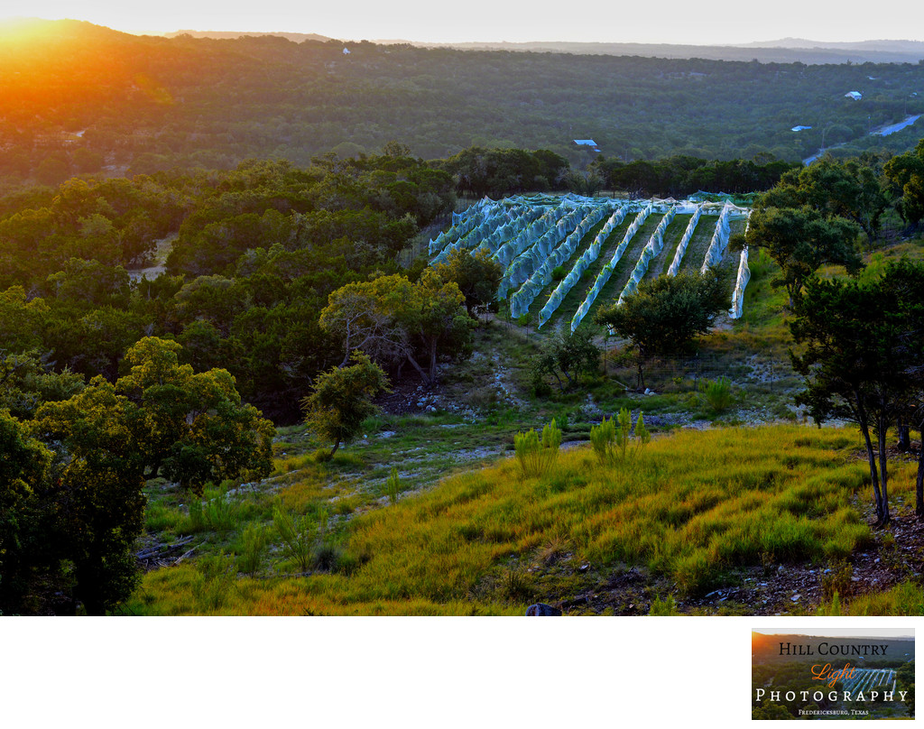 Sunrise Over Hawks Shadow Vineyard Dripping Springs Texas Hill Country Light Photography