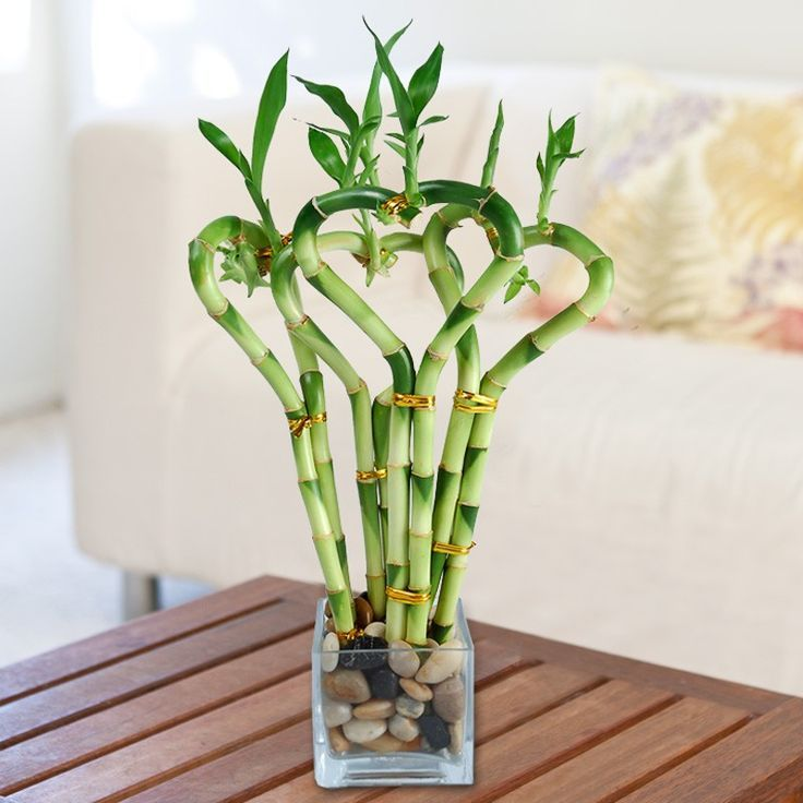 Indoor Lucky Bamboo