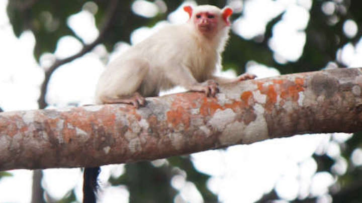 New Species Of Monkey Discovered In The Amazon Rainforest