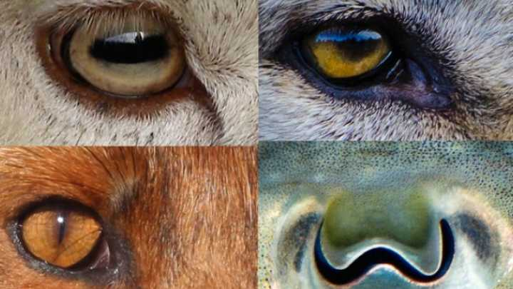 Revealed: Why Animals' Pupils Come In Different Shapes And ...