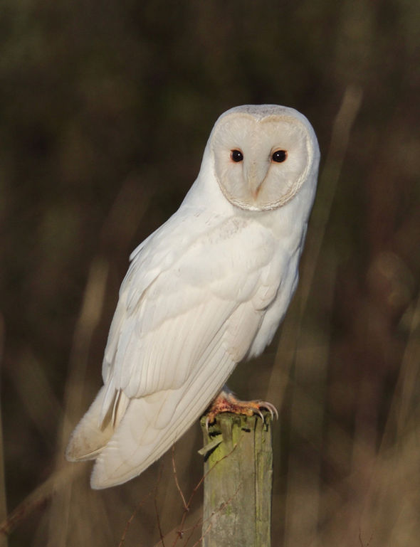 Springwatch viewers in awe of a barn owl, one of the best ...