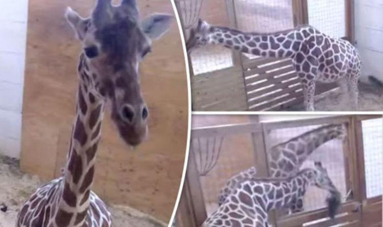 Birth Planet Live Giraffe Animal