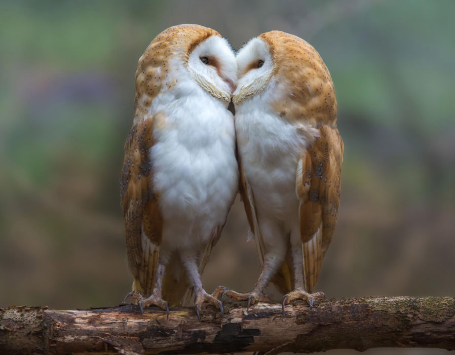 Lovebirds! Adorable moment two barn owls pucker up for the ...