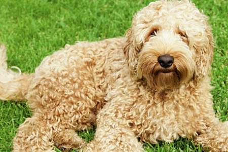 Top 15 Designer Dog Breeds   Care com Designer dog breeds may sound glamorous  but a  designer dog     or hybrid  dog    just means a dog whose parents are purebreds from two different  breeds