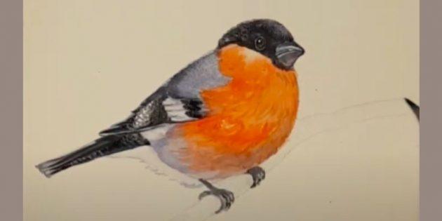 Hvordan tegne Bullfinch: Monter potene