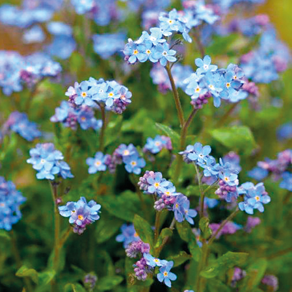 Forget Me Not Myosotis Mon Amie Blue Plants from Mr Fothergill s     Forget Me Not Mon Amie Blue