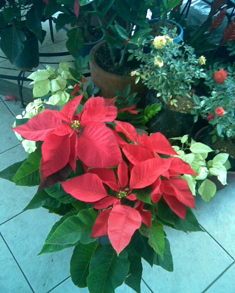 Six Facts About Poinsettias Networx