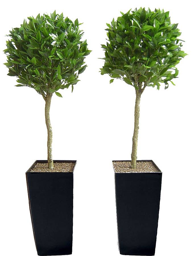 Tall Indoor Potted Plants