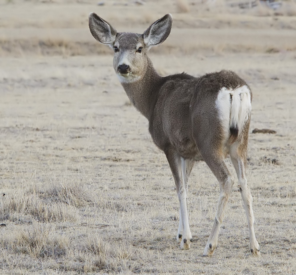 Are Protect Humans Deer Mule Doing What