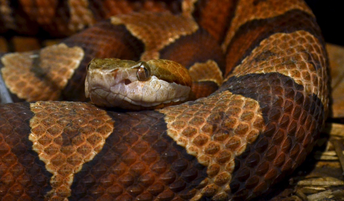 northern copperhead pictures - 1200×700
