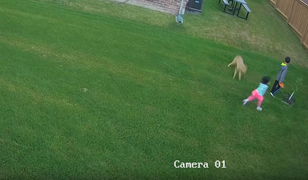 Video Backyard Coyote Attack Caught On Security Camera