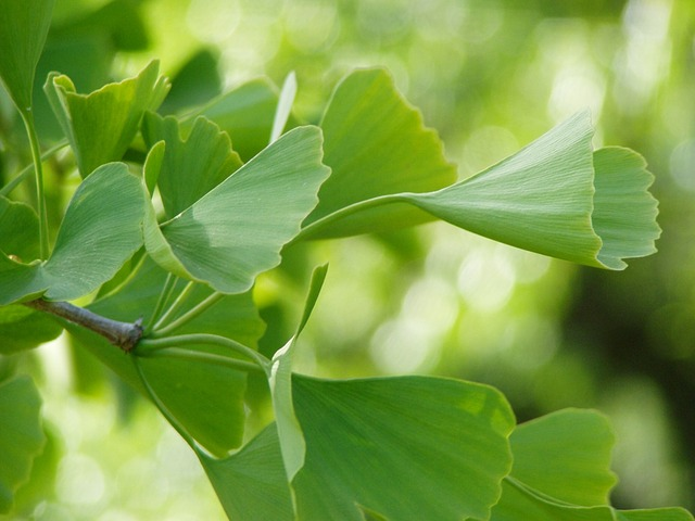 Ginko Green Leaves 183 Free Photo On Pixabay