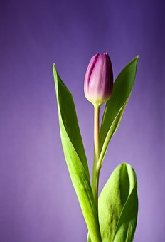 Tulip Flower Images      Pixabay      Download Free Pictures Tulip Flower Bloom Pink Flowers Spring Nat