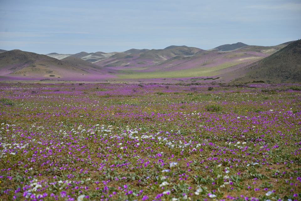 Desert Flower Images      Pixabay      Download Free Pictures Hills  Flowering Desert  Flowers  Purple