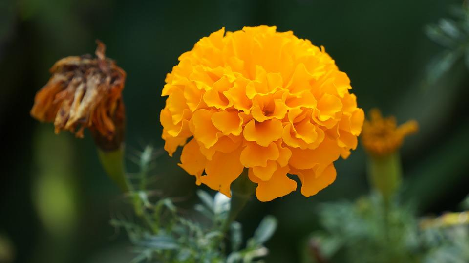 Marigold Flower Flowers Yellow      Free photo on Pixabay marigold flower flowers yellow flowers kind of wood