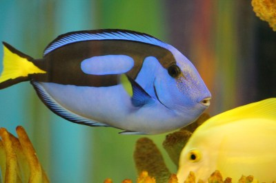 Blue Tang Fish Dory · Free photo on Pixabay