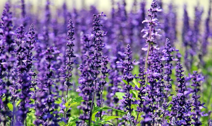 Lavender Flowers Purple      Free photo on Pixabay lavender flowers purple flowers blue flowers nature
