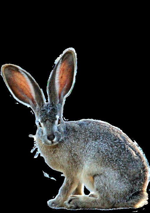 Transparent Bunny Background