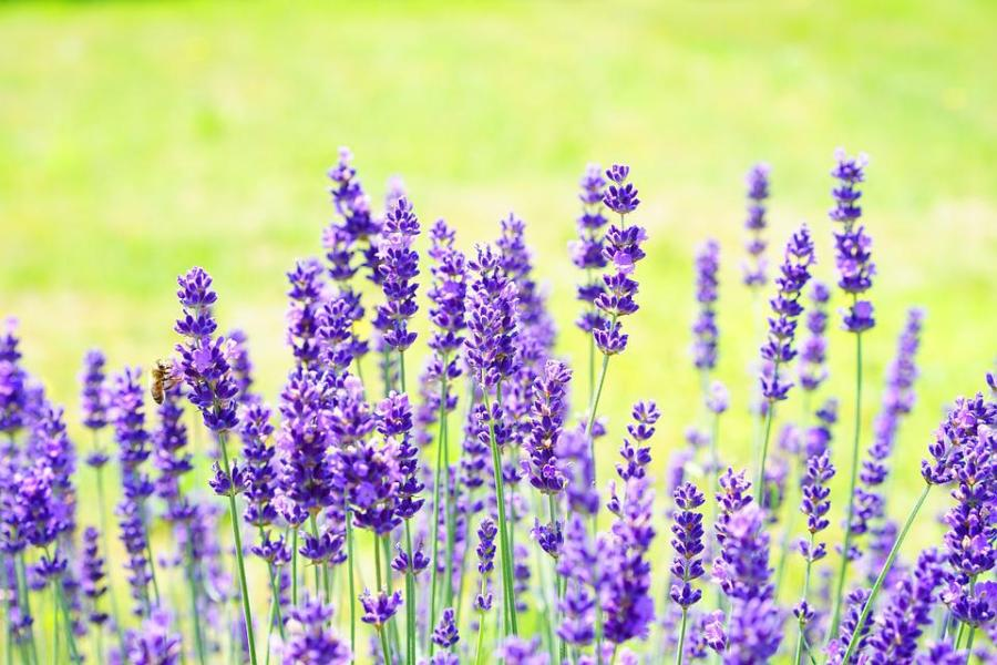 Lavender Flowers Flower      Free photo on Pixabay lavender flowers flower purple violet plant