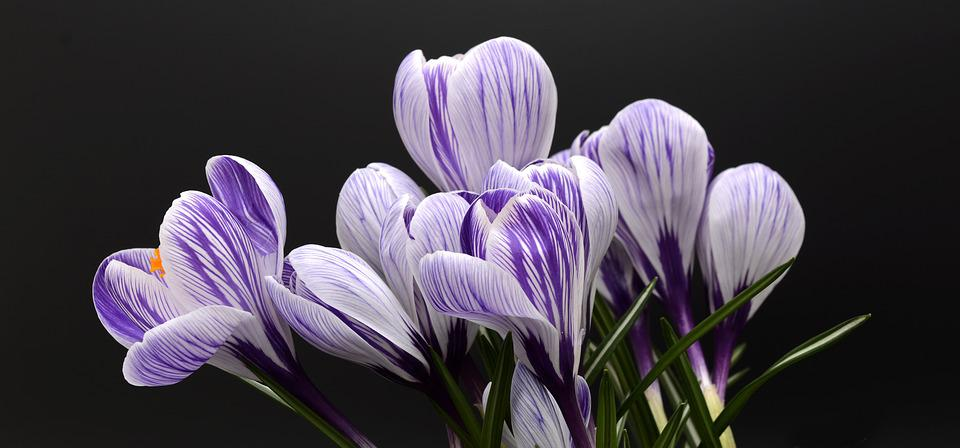 Purple Flowers Images      Pixabay      Download Free Pictures Crocus  Flower  Spring  Nature
