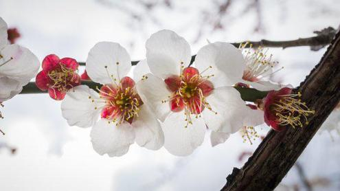Cherry Blossom Images      Pixabay      Download Free Pictures Cherry Blossom Flowers Nature Plants White