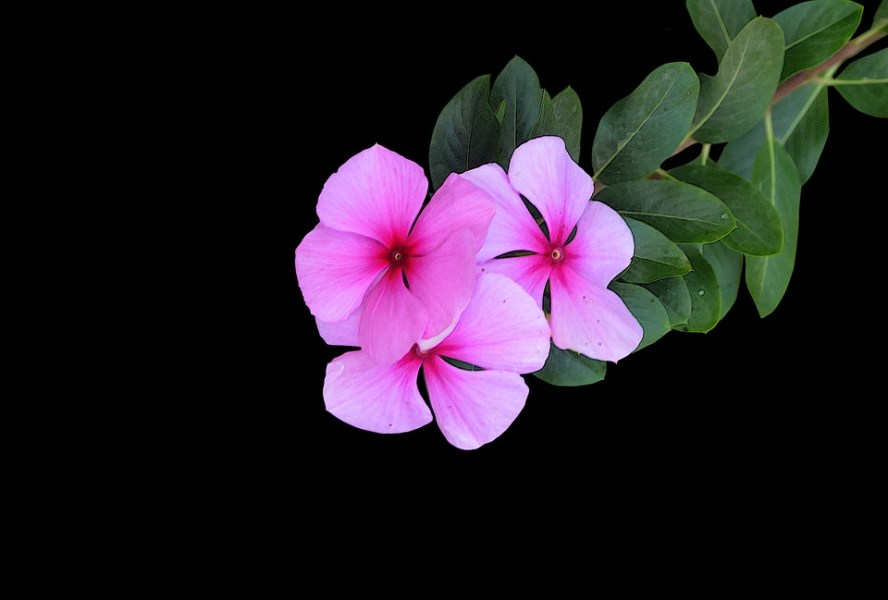 Pink Flowers Black Background      Free photo on Pixabay pink flowers black background color flower tapeworm