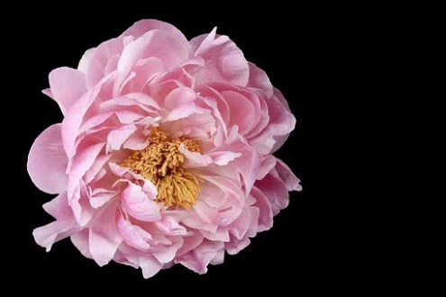 Peony Flower Images      Pixabay      Download Free Pictures Peony  Flower  Floral  Nature  Pink