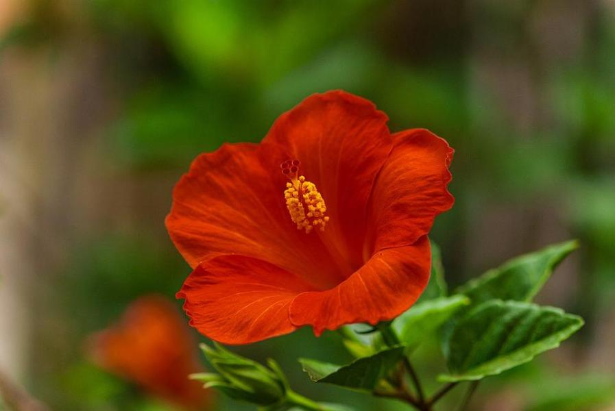 Hibiscus Flowers Beautiful      Free photo on Pixabay hibiscus flowers beautiful flowers flowers plant
