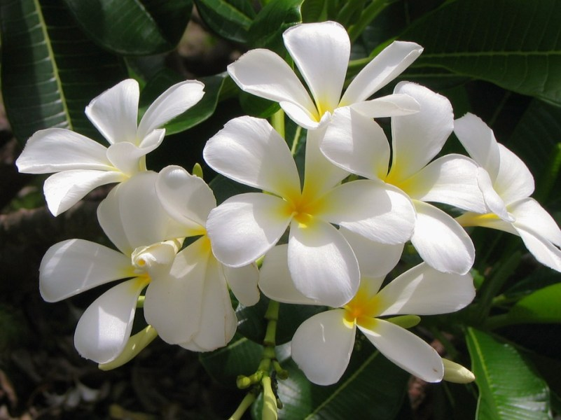 Jasmine Flower White      Free photo on Pixabay jasmine flower white flower white plant tropical