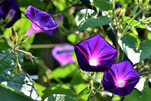 Purple Flowers Images      Pixabay      Download Free Pictures Superb Thread  Morning Glory