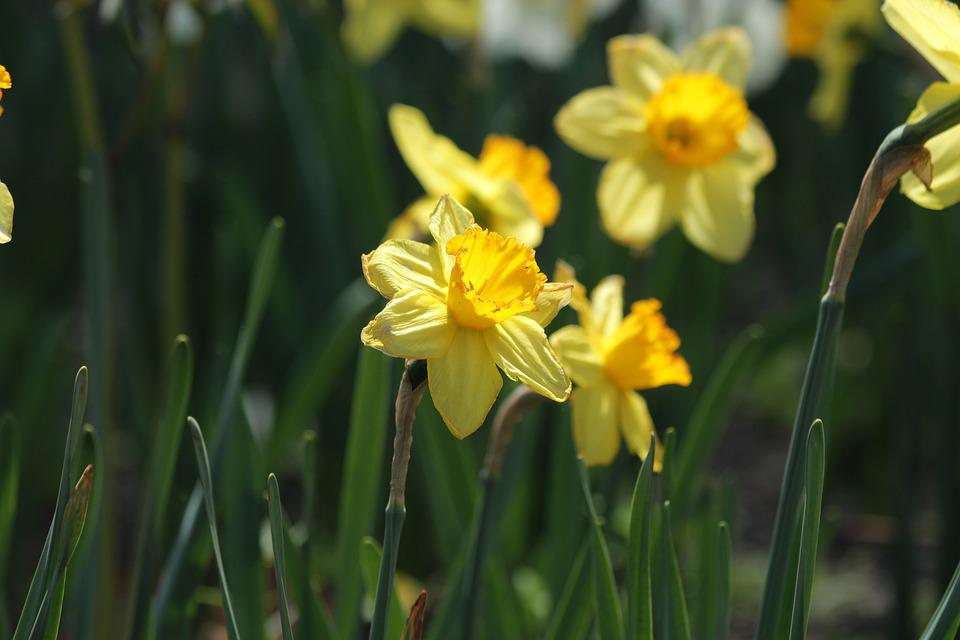Daffodils Flowers Narcissus      Free photo on Pixabay daffodils flowers narcissus plant yellow closeup