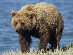 How To Protect Yourself From Bears Reader S Digest