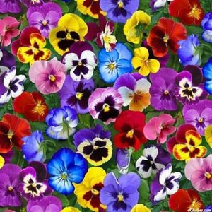 Buy Seeds Pansy Flower Multi Colour Fast Germination Seeds For Home     Seeds Pansy Flower Multi Colour Fast Germination Seeds For Home Garden