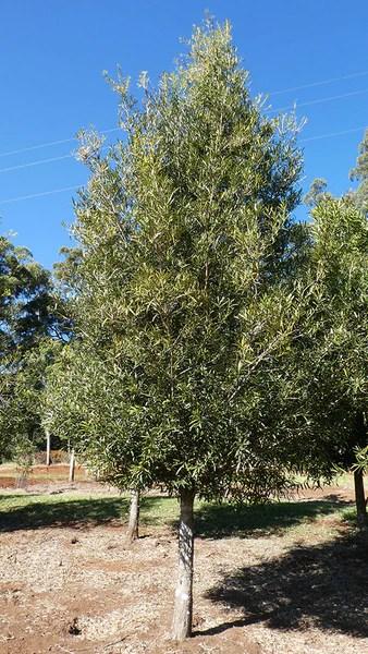 Purple Trees Australia