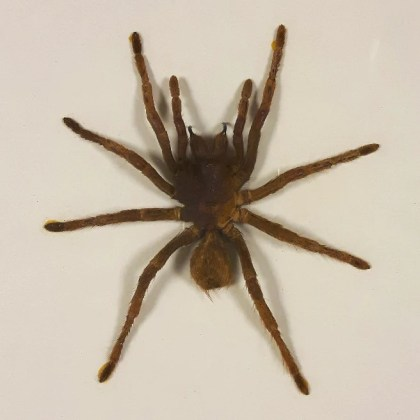 Cased Goliath Bird Eating Spider   Home Alchemy Cased Goliath Bird Eating Spider