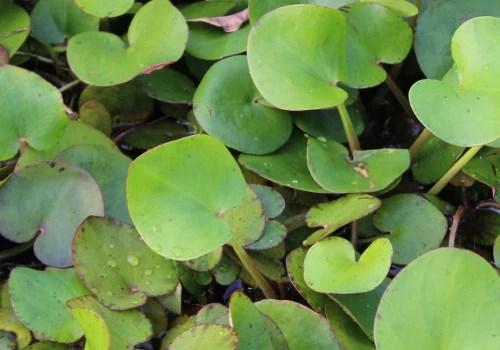 Frogbit Floating Pond Plant