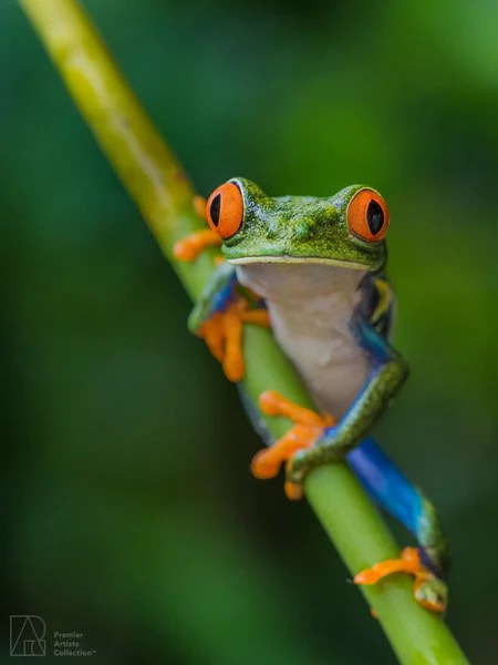 Red-Eyed Tree Frog – Premier Artists Collection