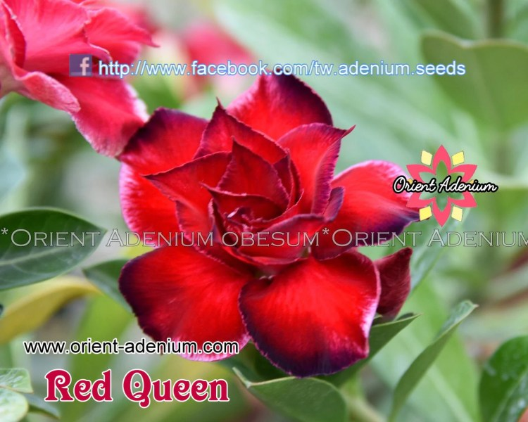 Adenium obesum Red Queen Grafted plant   Orient Adenium online store Adenium obesum Red Queen Grafted plant