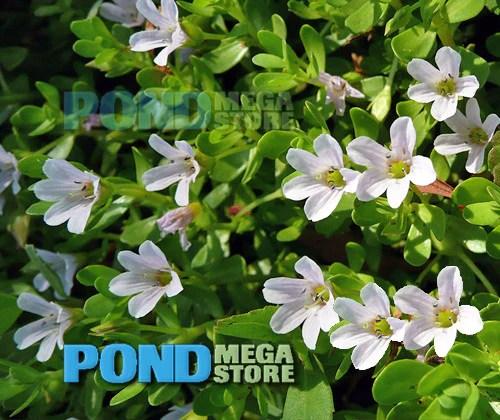 Oxygenating Plants Garden Ponds